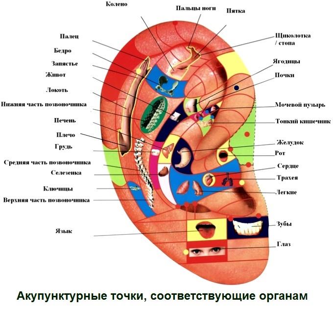 Расположение акупунктурных точек на ушах