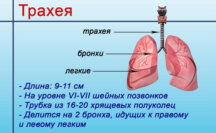 Схема трахеи
