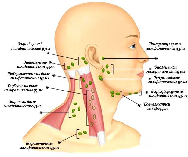 Лимфатические узлы